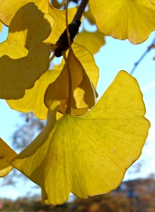 Yellow Gingko leaves
