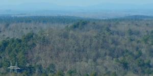 Bald Eagle cruising the Ouachitas