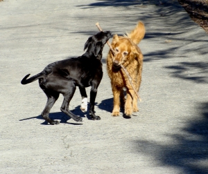 Dogs tussle over a stick.