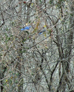 bluebird pair in trees