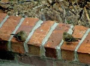 Wrens fluff their feathers against arctic air.