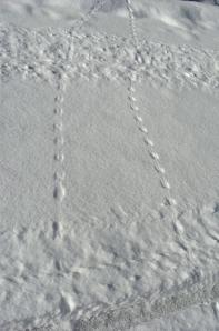 Bird tracks in the snow