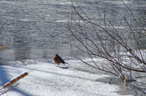 Robin ventures out on the ice.