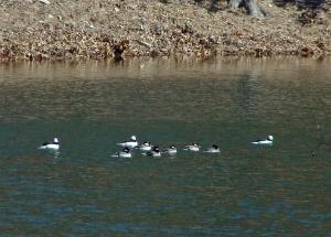Bufflehead flock
