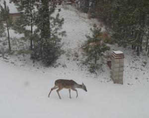 Deer crossing the driveway