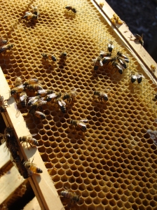 Bees busy in their frame.