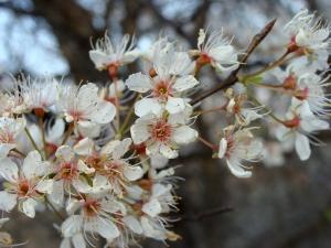 Fragrant wild fruit blossoms