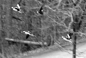 Buffleheads take off.