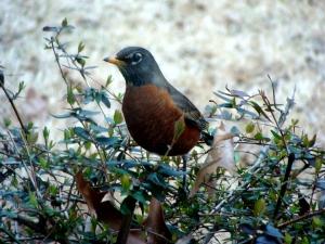 Robin in the bush