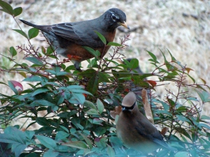 Robin and waxwing