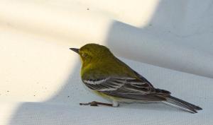 Finch on the picnic table