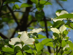 Backlit dogwood flowers