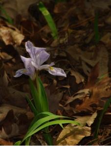 Crested iris.