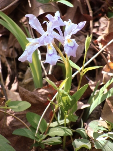 Iris going strong on the north face of Round Mountain's shoulders.