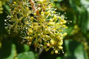 Grape flowers