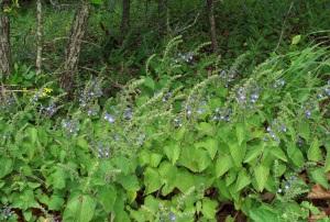 Field of blue wildflowers