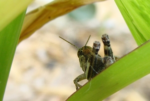 grasshopper in corn