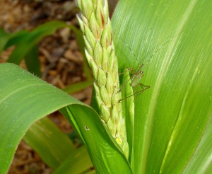 Green grasshopper on corn