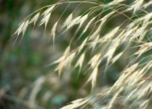 Seed panicles