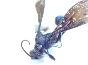 Blue wasp