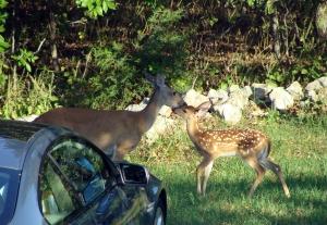 Deer Kiss