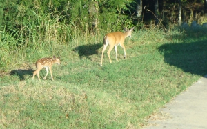 Doe Fawn Walking