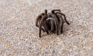 Little tarantuly