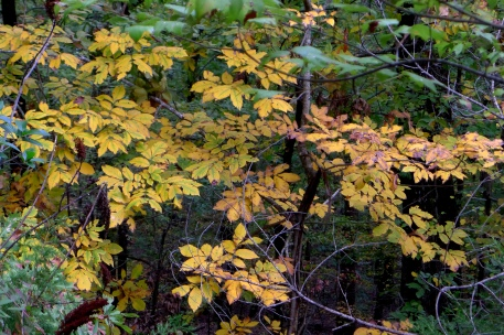 HICKORY LEAVES -- Beautiful yellow with green veins.