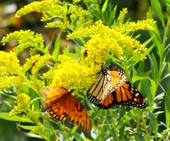 WAY 'TWO' ORANGE -- Gulf fritillary and monarch making their way around the blooms.