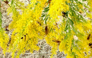 THEY'RE EVERYWHERE -- Wasps, bees, pollinators of all types were making the goldenrods buzz.