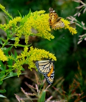 RIDING THE WIND -- All of these winged creatures were hanging on tight as their goldenrod perch was buffeted by mountain winds.
