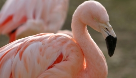 IN THE PINK -- Flamingos at the Little Rock Zoo, also taken by my better half.