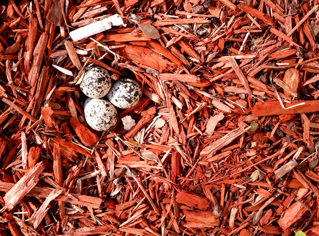 TRIPLETS -- Killdeer eggs in red mulch.