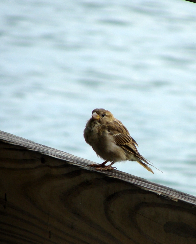 RUFFLED -- Wind ruffled sparrow awaits handouts at a lakeside restaurant in Hot Springs, Ark.