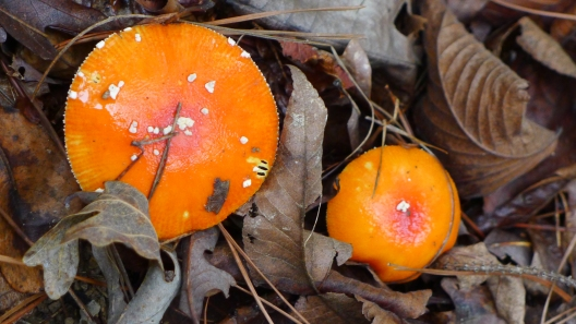 ORANGE x TWO -- Rain brought out the shrooms, including this pair of very orange fungi.