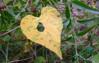 HOLE IN MY HEART -- Grasshopper or caterpillar left a hole in this heart-shaped leaf from a morning glory family flower.