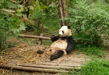 RELAXED -- Yep, just sitting here eatin' bamboo and being cute.