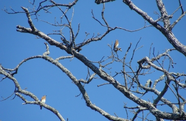 TOO BLUE -- Two eastern bluebirds sit in a nearly bare tree.