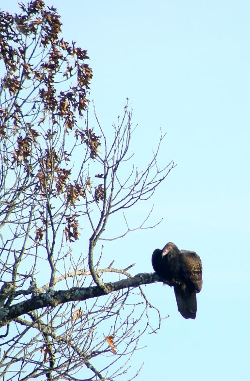 11-21 VultureLeft