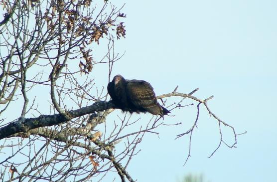 11-21 VultureRelaxing