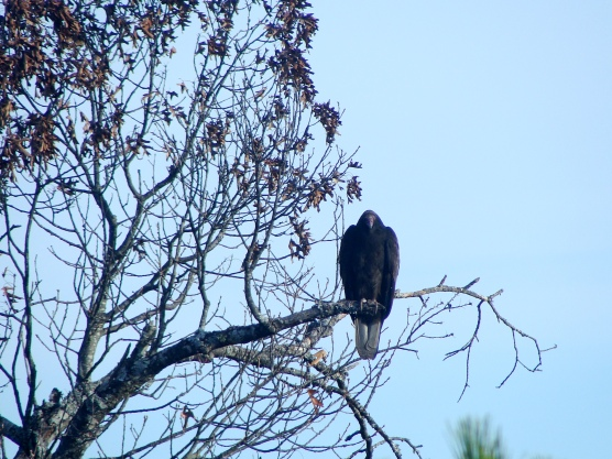 11-21 VultureUpright