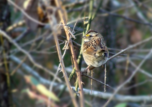 PERCHED -- White-throated sparrow, with a splash of yellow on his forehead, sites for a few seconds in the wild blackberry thicket.