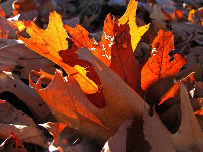 11-23-Backlit-oakleaves