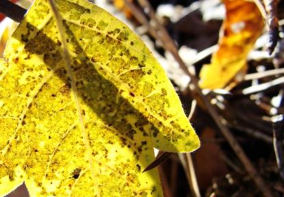 11-23 Poison Ivy Backlit
