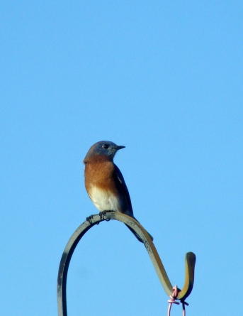 BLUEBIRD -- One of three bluebirds who battled for the high ground on the deck.