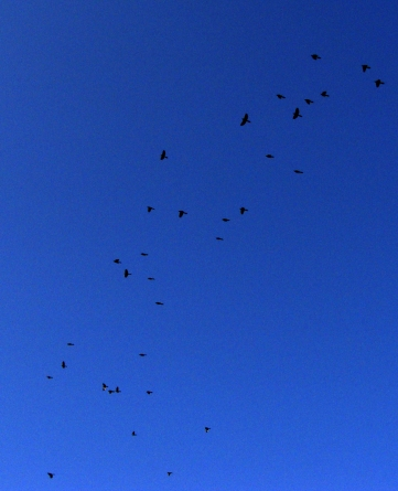 BLACK AND BLUE -- Starlings sprinkled across the morning sky.