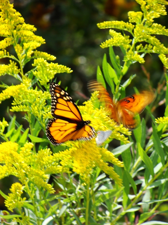 Monarch dances with gulf fritillary during October migration.