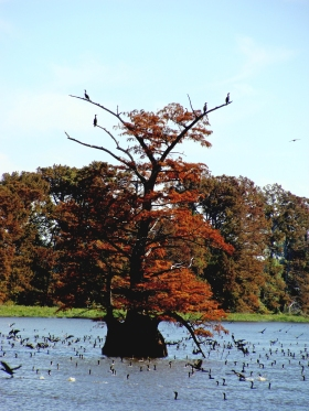 Cormorants fill the water and branches around this cypress.