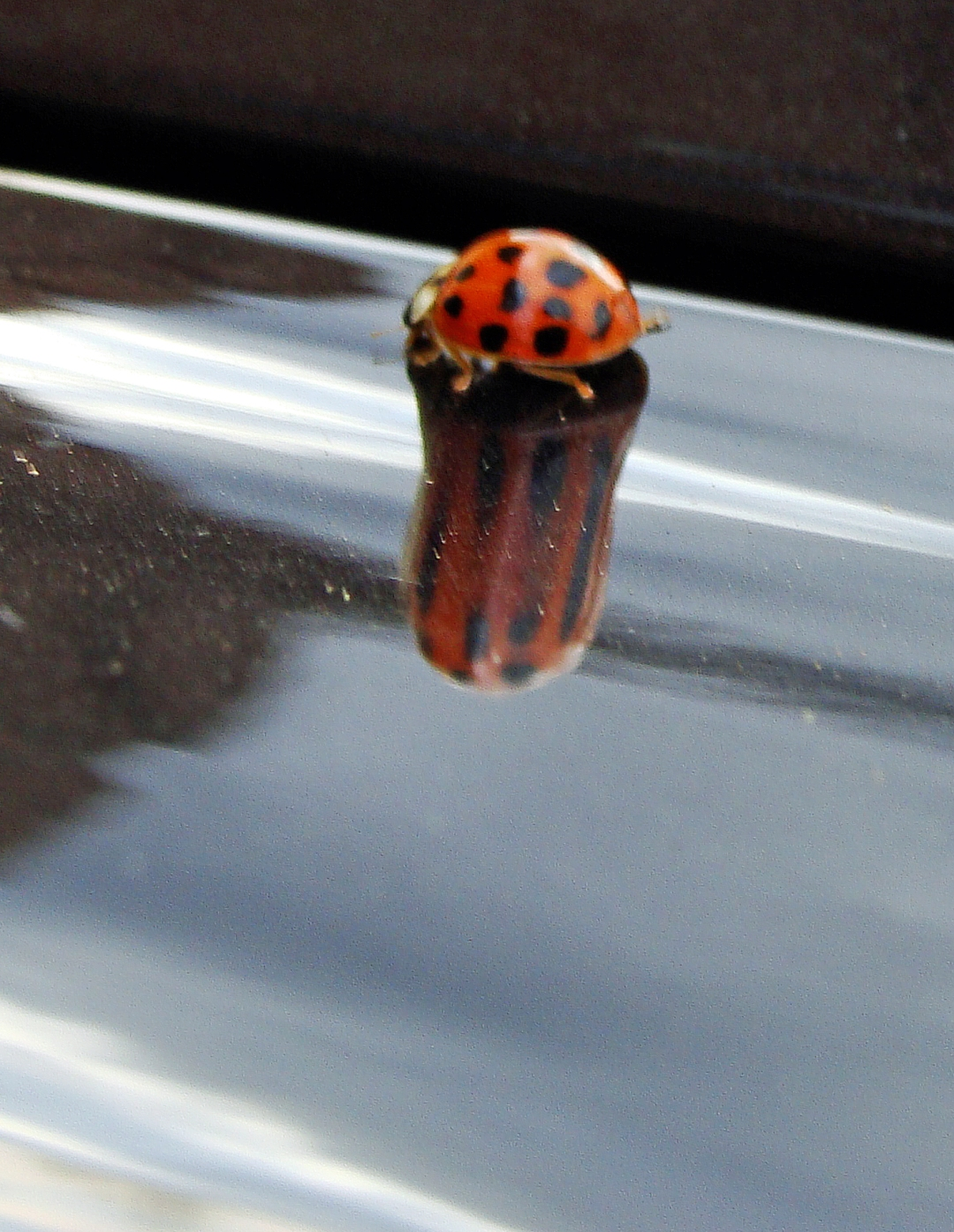 STRETCHED -- Ladybug's  reflection is stretched in a curve of a car's hood.
