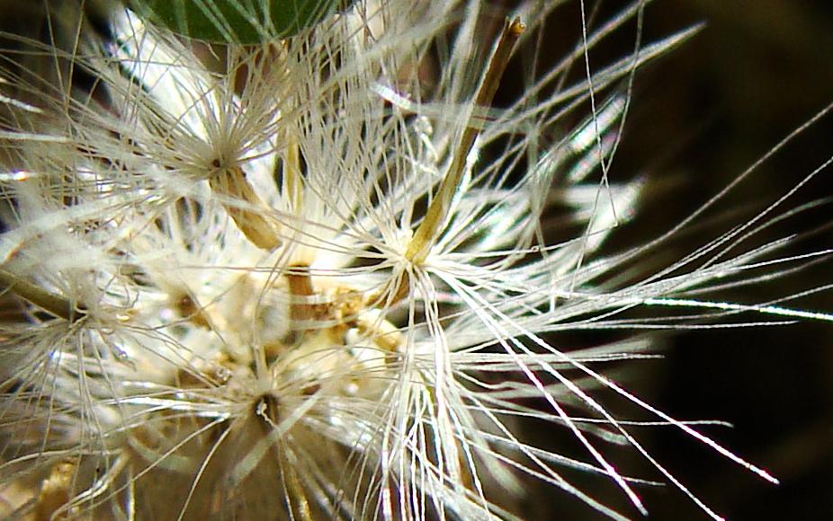 Seed parachutes.